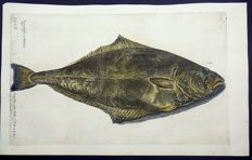 Francis Willoughby & John Ray - Halibut Hippoglossus [Flétan, Halibute]. Hand coloured. Large Folio - engraving - 1686