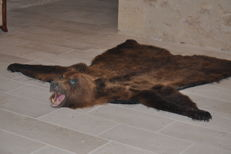 Taxidermy - large Brown Bear rug, with modelled head, felt-lined and labelled - Ursus arctos - 235 x 230cm - 17kg