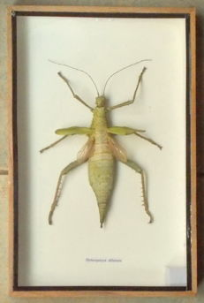Taxidermy - large cased Jungle Nymph Stick Insect - Heteropteryx dilatata - 30 x 20cm