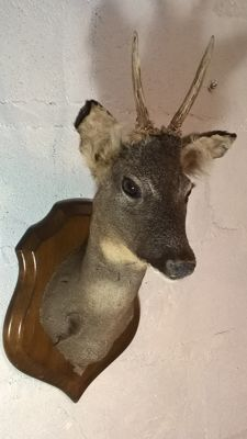 Vintage French taxidermy - fine, adult Roebuck on carved, hardwood shield - Capreolus capreolus - 57 x 26 x 33cm