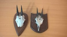 Antique taxidermy - Dik-dik trophies on hardwood shields - Madoqua spp. - 21 x 10 x 9cm and 18 x 12 x 5cm  (2)
