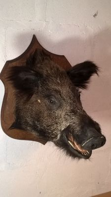 Vintage French Wild Boar head on shield - Sus scrofa - 53 x 50 x 39 cm