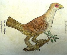 Conrad Gesner - One leaf with 2 large woodcuts Ornithology: Grygallus, Francolin - 1669