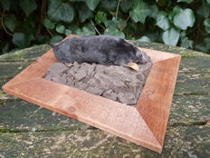 "Curious taxidermy - ""Mole with his Molehill"" - Talpidae sp. - 25X20cm"
