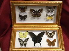 Taxidermy - fine, large Butterfly display cases - various species - 320 x 180mm  (2)