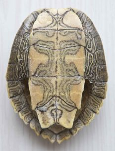 Unusual False Map Turtle, full carapace - Graptemys pseudogeographica - 10.5 x 8cm