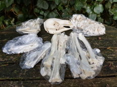 Complete, non-articulated Bennett's Wallaby skeleton - Macropus rufogriseus - skull 24cm