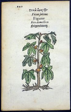 Leonhard Fuchs - Leaf with 2 botanical woodcuts on one leaf; Fig Tree [ Vijgenboom - Echte Feige - Ficus carica - ]; Pastinaca sativa [ Parsnip ] - 1551