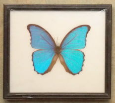 Morpho didius Butterfly in a black wooden frame – 22 x 19,5 cm.