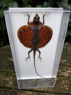 Taxidermy - extra large Flying Dragon in plastic display box - Draco haematopogon - 10 x 20cm