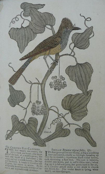 Cates/Cave - Five hand-coloured engravings of American birds (from) Gentleman's Magazine - 1751/1752