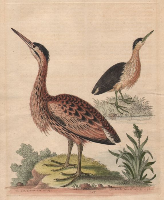 George Edwards ( 1694-1773 ) - Study of the little bittern from Aleppo