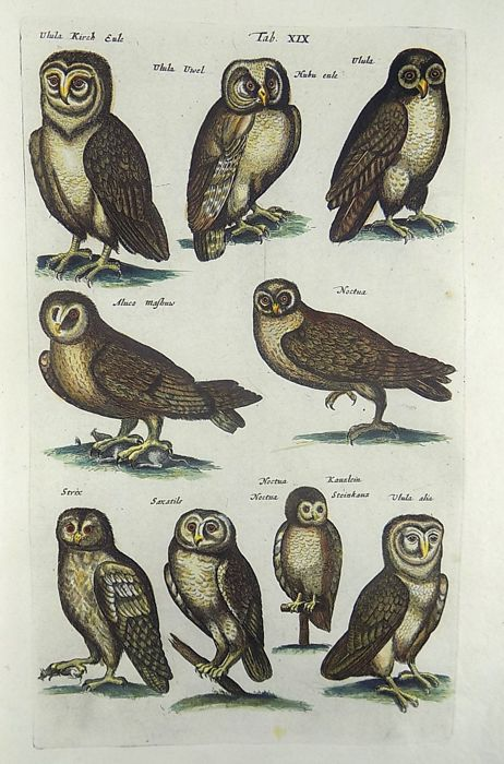 Matthäus Merian (1593-1650) - Owls - Folio hand coloured engraving