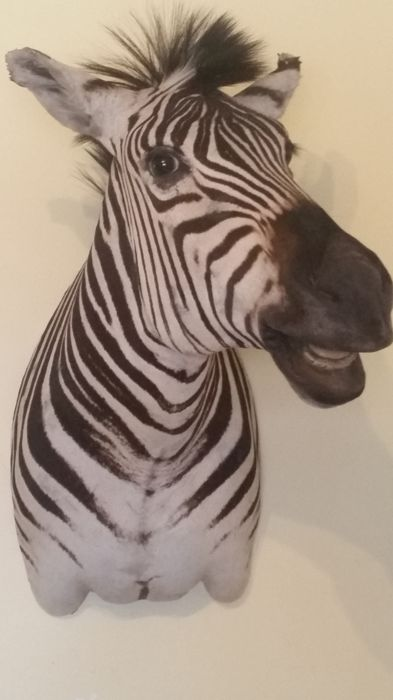Burchell's Zebra - Very detailed Zebra shoulder - Equus quagga burchellii  - 41×110×90 cm