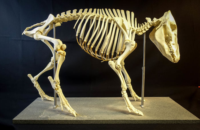 Fully articulated and complete Wild Boar Skeleton - Sus ...