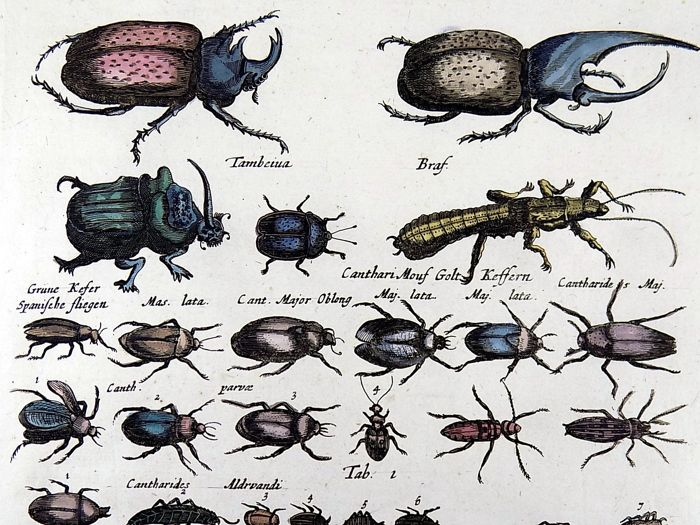 Matthäus Merian (1593-1650) - Scarab Beetles Bugs Folio hand coloured engraving