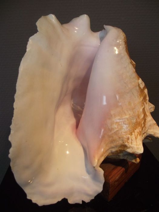 A large rare Pink of Queen Conch (Shell) on a wooden footing - Strombus Gigas, Florida, USA - Strombus Gigas