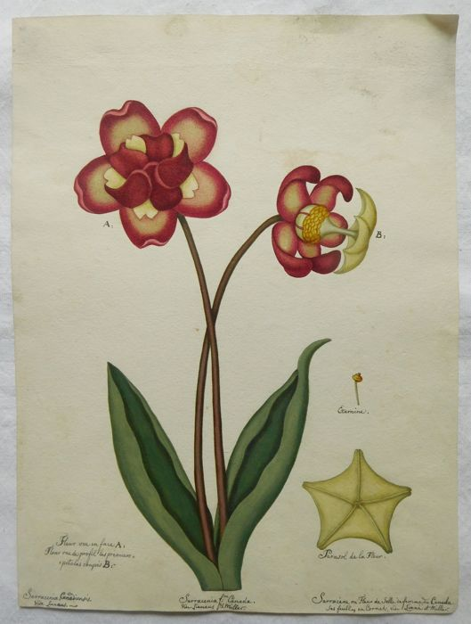 Linneaus & Miller - French school of the 19th century, drawing of flowers