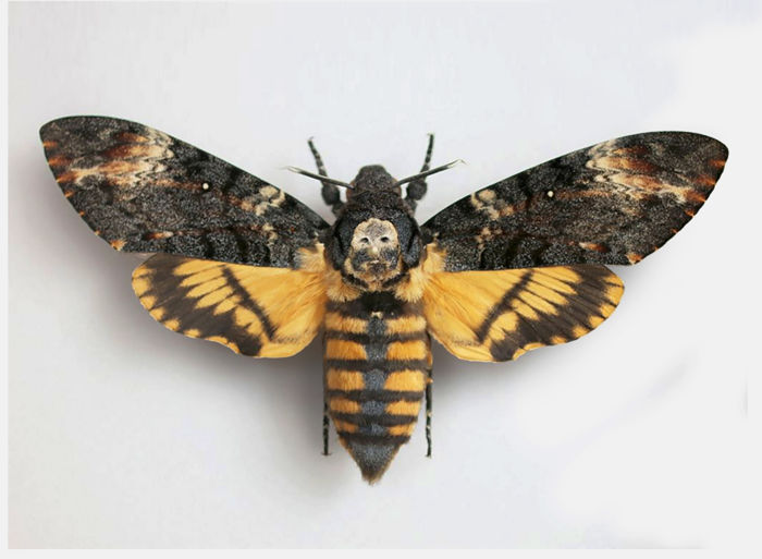 "Real ""Deaths Head Hawk Moth"" framed on ""The Silence of the ..."
