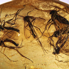 Baltic Amber Cabochon - with very many large Fungus Gnats - Mycetophilidae  - 23×20×6 mm