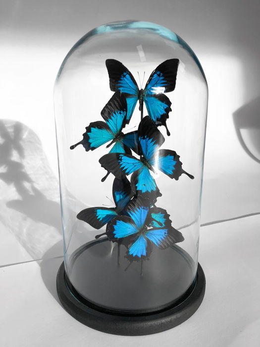 Blue Emperor Butterflies under glass dome - Papilio ulysses - 40×23×23 cm