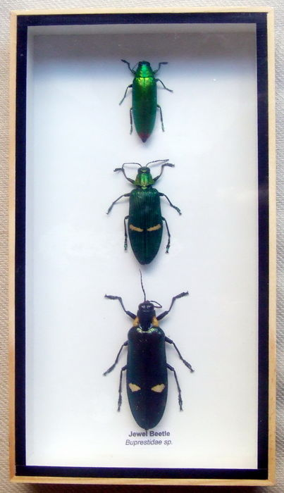 Exotic insects in display cases - Cicadicae and Buprestidae