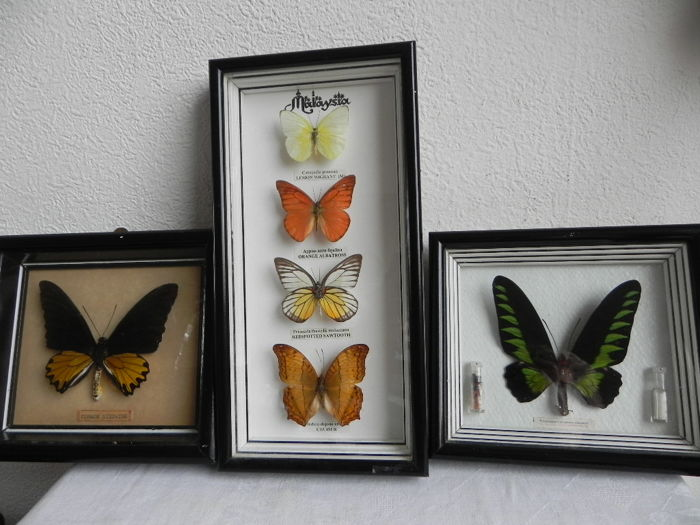 Various South East Asian Butterflies, all named - 19 x 17cm and 30 x 15cm  (3)