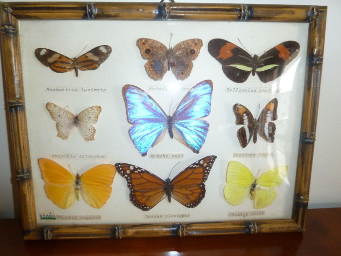Various Butterflies in display box - named species - 26 x 20cm