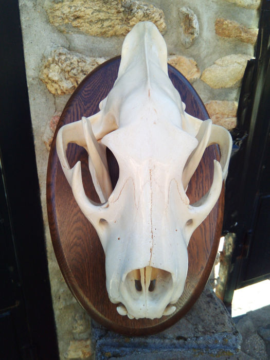 Large and complete adult African Lion skull - Panthera leo - 38 x 26cm