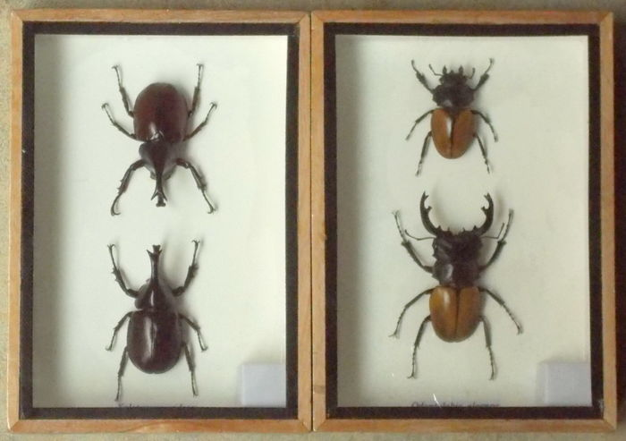 Xylotrupes gideon, male and female - Odontolabis elegans, male and female - 17,5 x 12,5cm  (2)