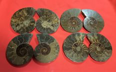 Collection of ammonites Aioloceras sp - 105 - 120 mm (4)