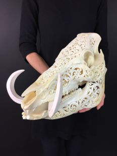 Fine quality Balinese Wild Boar skull, with hand-carved traditional motif • Suidae sp.- 31 x 19 x 25cm