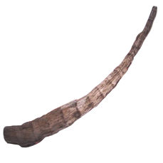 Fine and rare horn of a Woolly Rhinoceros - Coelodonta antiquitatis - 82 cm - 0.58 kg
