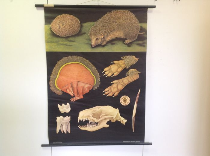 """Biology School poster """"The Hedgehog"""" issued by Lehrmittel verlag Hagemann from Düsseldorf in the series of natural posters of Jung Koch and Quentell"""