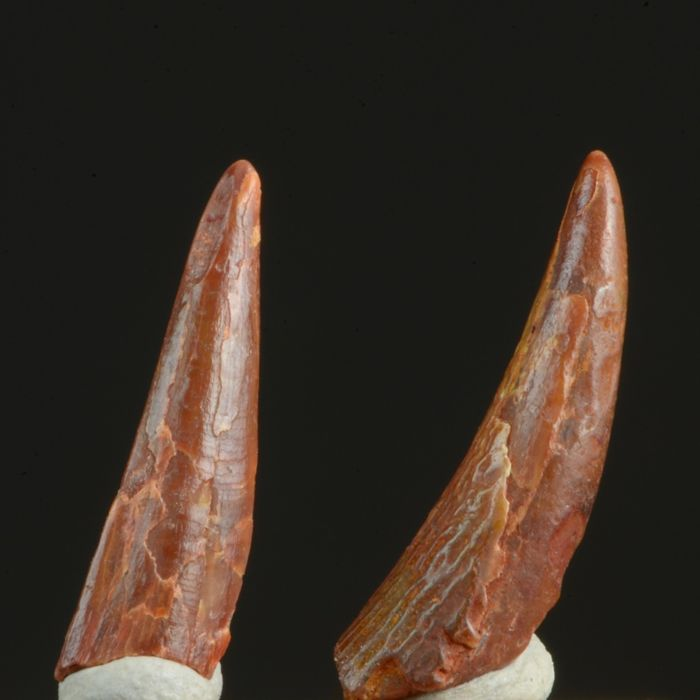 Set of 2 Pterosaur teeth - 20 and 18 mm long (2)