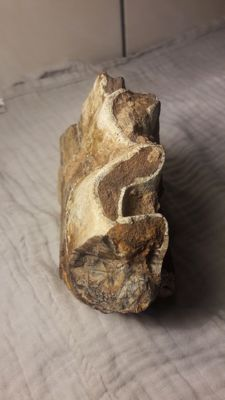 A piece of fossil Woolly Rhinoceros jaw with two molars - Coelodonta antiquitatis - 12 cm 1.5 kg