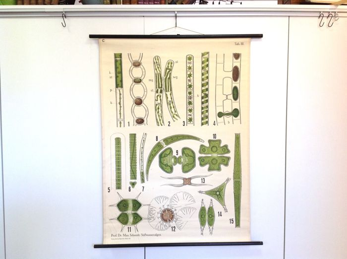 Botanical school poster: Freshwater Algae. Very decorative, almost abstract learning poster for the lessons in biology