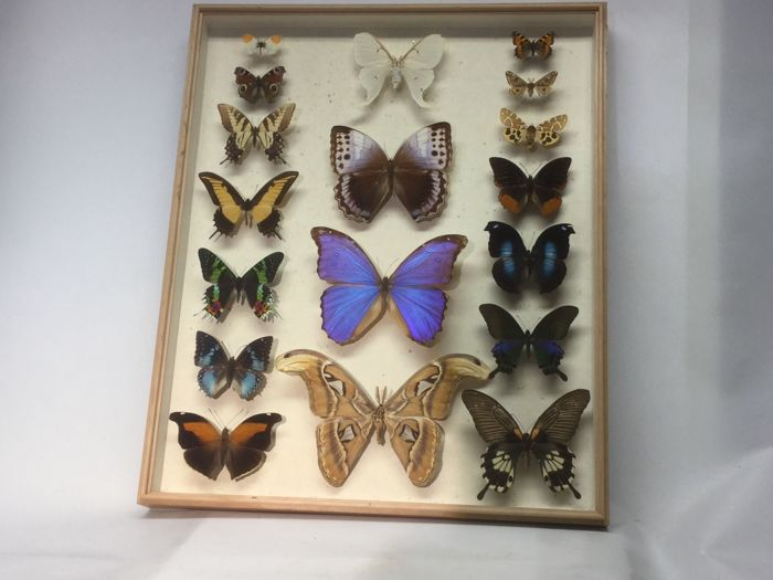 Large Butterfly case - various species - 51 cm