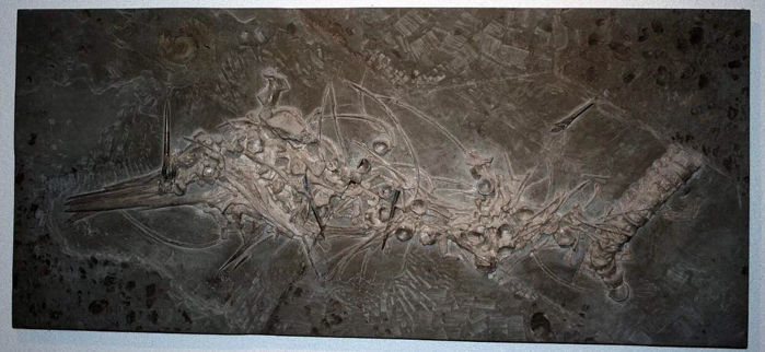 Very beautiful Ichtyosaurus from Holzmaden - great condition - 160 x 70 cm - 180 kg