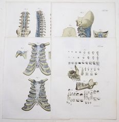J.F. Schroeter - 4 folio handcol. engravings - Anatomy Teeth - 1834