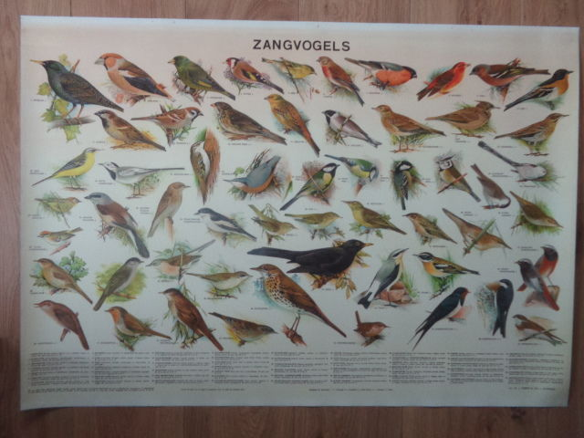 Very nice school poster with Songbirds on this poster 57 birds are depicted that live in The Netherlands.