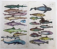Matthäus Merian (1621 – 1687) - Fish, Sharks, Dogfish, Angelshark, Hake, Trout