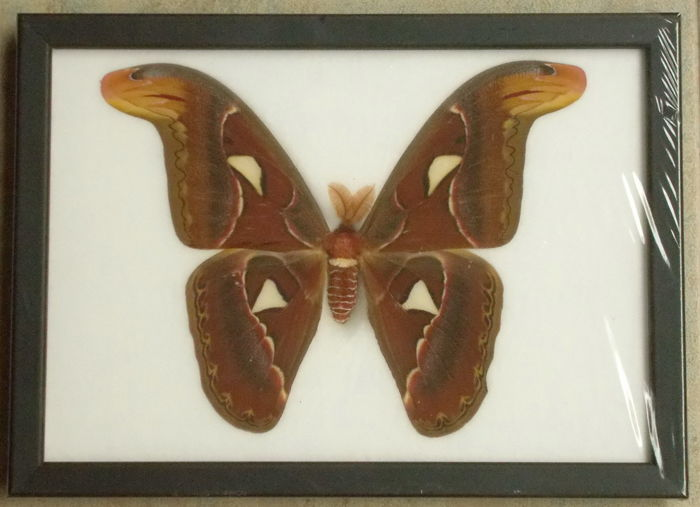 Atlas Moth - Attacus atlas -  27,5 x 20cm