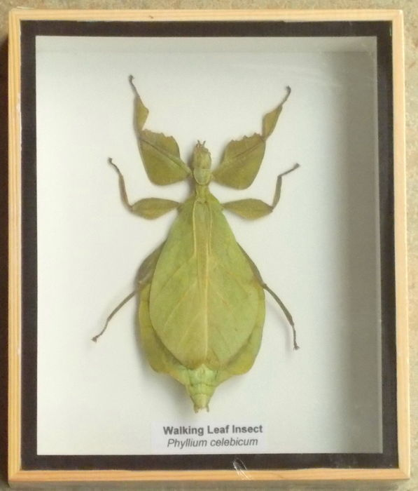 Walking Leaf Insect Cased - Phyllium Celebicum  - 15 by 12,5 - 1