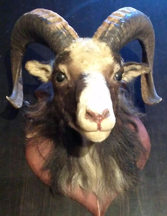 Fine vintage Mouflon trophy on wall-plaque - Ovis aries orientalis - 37 x 33cm