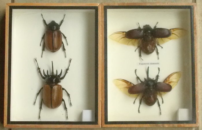 Five-horned Beetles, open and closed wings - Eupatorus gracilicornes - 20 x 15cm (2).