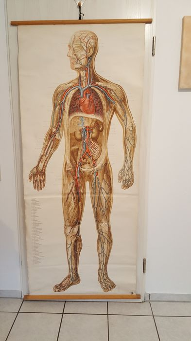 A chart of the blood supply in the body of a human, the Hamburg-based company Tanck & Wegelin from the 1950s - 1960s
