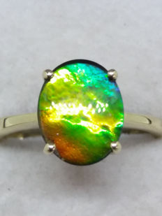 Rare Grade AA Polished Ammonite (Ammolite), 67 Million Years old, 5 colour display in gold