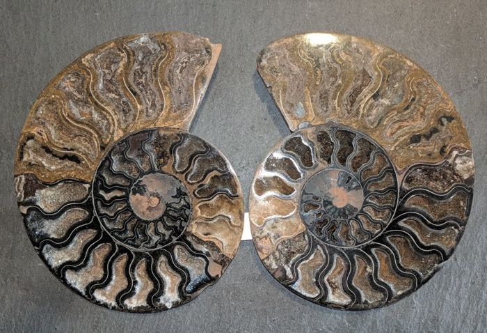 Cut and polished ammonite Aioloceras sp. - 145 mm - 534 g (2)