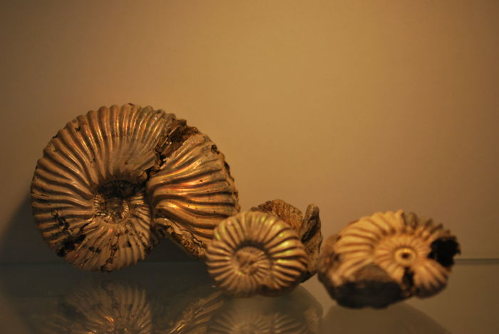 Three cretaceous ammonites. One Hypacanthoplites jacobi and two Leymeriella schrammeni. 60 x 45 x 20 mm - 32 x 25 x 12 mm - 22 x 20 x 7 mm